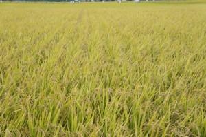 お米の生産国
